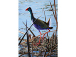 Acrylic painting of Purple Gallinule