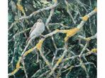 Acrylic painting of Spotted Flycatcher