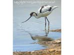 Large image of Avocet