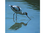 Acrylics painting of  an Avocet