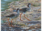 Redshanks, painting in acrylics