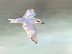 Acrylic painting of Gull-billed tern