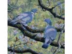 'Sunlight and Shadow' Acrylic painting of Woodpigeons
