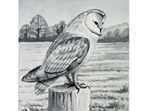 Watercolour painting of Barn Owl