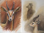 Watercolour painting of Dorcas Gazelles
