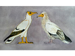 Large image of Egyptian Vultures