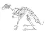 Pencil Drawing of a Brown Hare Skeleton