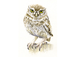 Little Owl III