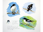 Sketch of Pied Flycatcher