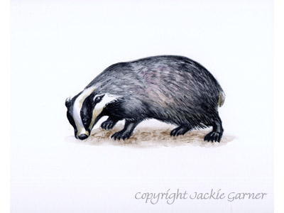 Watercolour of Badger