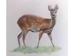 Watercolour painting of Chinese Water Deer