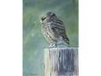 Watercolour of Little Owl
