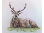 Watercolour of Red Deer