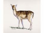 View larger image of Fallow Deer